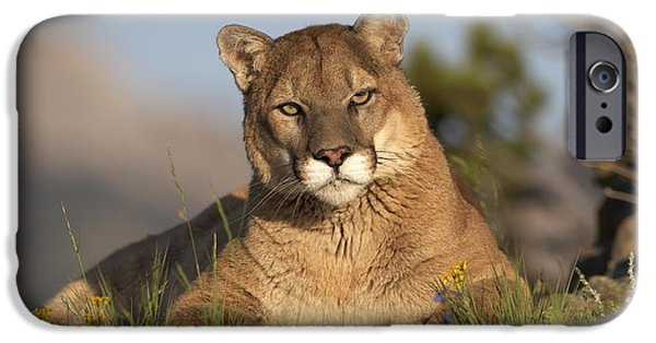 Felidae iPhone Cases - Mountain Lion Portrait North America iPhone Case by Tim Fitzharris