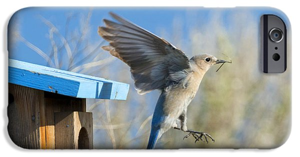 Bluebird iPhone Cases - Nest Builder iPhone Case by Mike Dawson