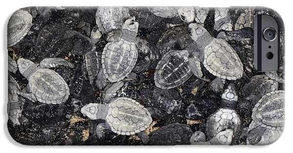 Marine iPhone Cases - Olive Ridley Sea Turtle  - Lepidochelys olivacea iPhone Case by Anthony Totah