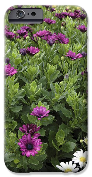 Recently Sold -  - Prescott iPhone Cases - Osteospermum flowers iPhone Case by Erin Paul Donovan