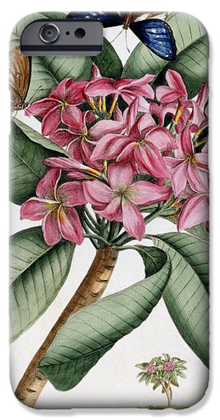 Flora Drawings iPhone Cases - Plumeria iPhone Case by Georg Dionysius Ehret