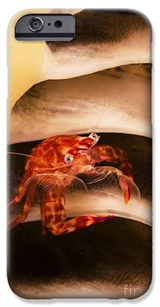 Dave iPhone Cases - Porcelain Crab iPhone Case by Dave Fleetham - Printscapes
