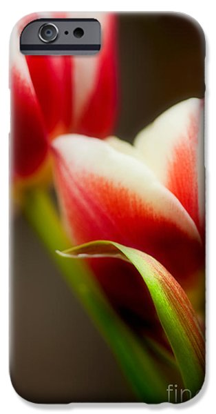 Floral Photographs iPhone Cases - Red and White Tulips iPhone Case by Nailia Schwarz