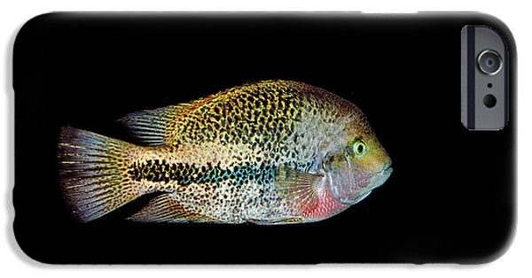 Cut-outs iPhone Cases - Red-headed Cichlid iPhone Case by Gerard Lacz