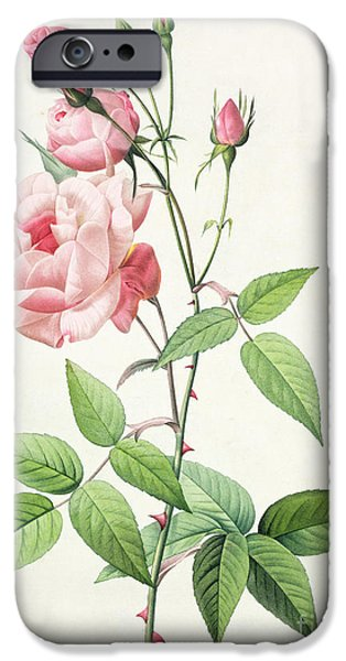 Plant Drawings iPhone Cases - Rosa Indica Vulgaris iPhone Case by Pierre Joseph Redoute