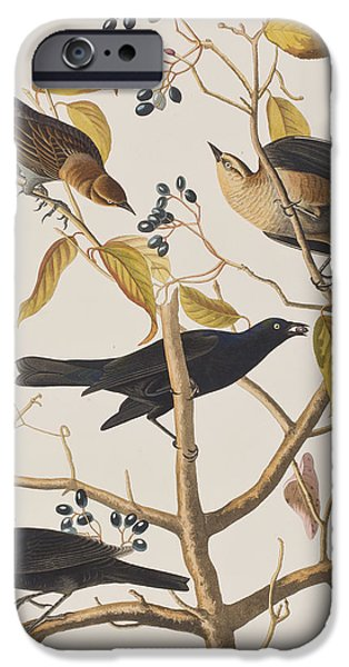 Rust Drawings iPhone Cases - Rusty Grackle iPhone Case by John James Audubon