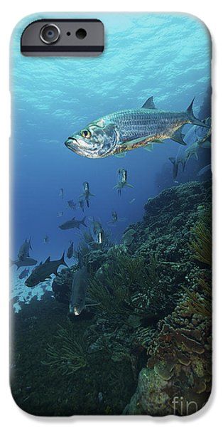 Undersea Photography iPhone Cases - School Of Tarpon, Bonaire, Caribbean iPhone Case by Terry Moore