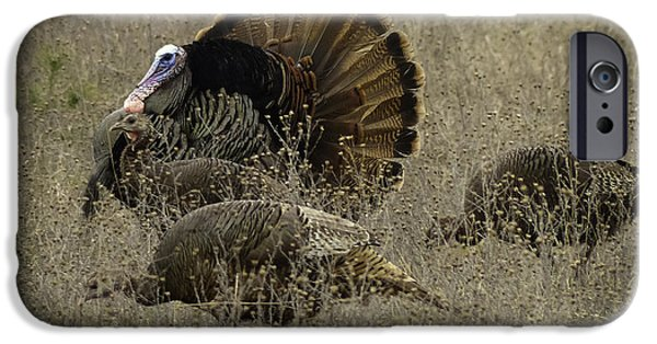 Eastern Wild Turkey iPhone Cases - Courting The Ladies iPhone Case by TAPS Photography