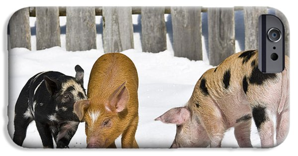 Litter Mates iPhone Cases - Three Piglets iPhone Case by Jean-Louis Klein & Marie-Luce Hubert