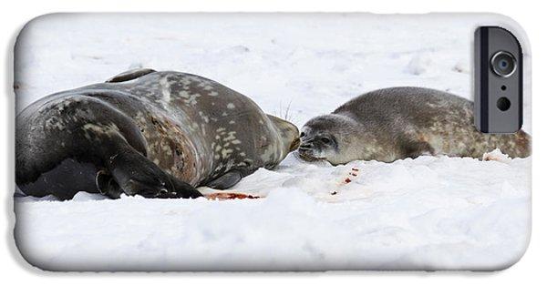 Lilachw iPhone Cases - Weddell seals Leptonychotes weddellii iPhone Case by Lilach Weiss