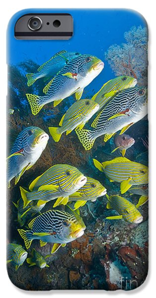 Undersea Photography iPhone Cases - Yellow And Blue Striped Sweeltip Fish iPhone Case by Mathieu Meur