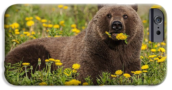 World No. 1 iPhone Cases - A Brown Bear Forages On Dandelions iPhone Case by John Hyde