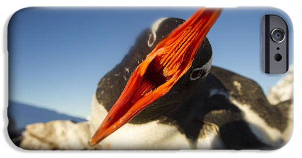 World No. 1 iPhone Cases - Antarctica, Petermann Island, Gentoo iPhone Case by Paul Souders