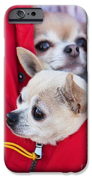 Chiwawa iPhone Cases - Chihuahua iPhone Case by Allan Wallberg