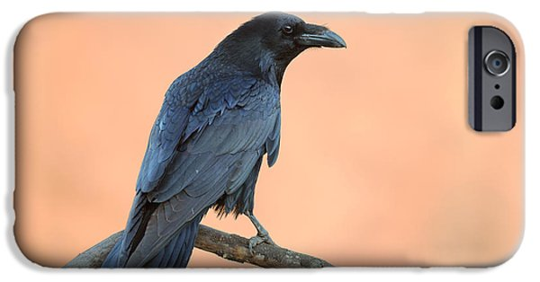 Crows iPhone Cases - Common Raven iPhone Case by Sergey Ryzhkov