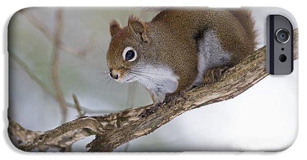 Sciurus Carolinensis iPhone Cases - Eastern Grey Squirrel  Sciurus iPhone Case by Philippe Henry
