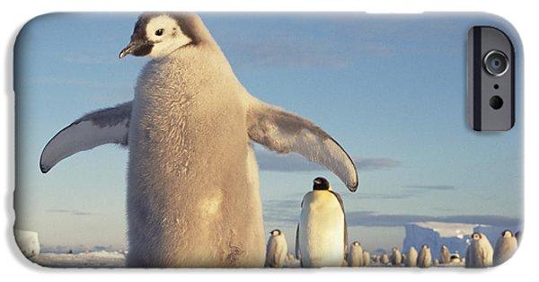 Baby Bird iPhone Cases - Emperor Penguin Aptenodytes Forsteri iPhone Case by Tui De Roy