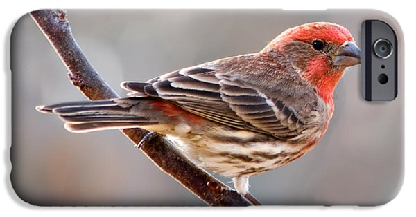 Finch iPhone Cases - House Finch iPhone Case by Betty LaRue