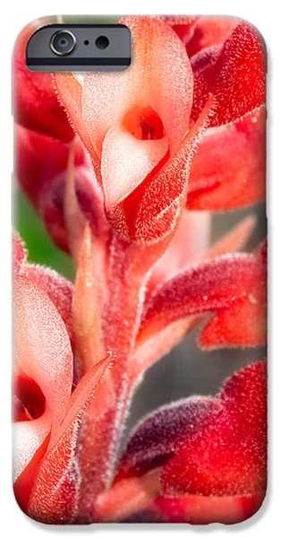 Terrestrial iPhone Cases - Leafless Beaked Orchid Close-up iPhone Case by Rich Leighton