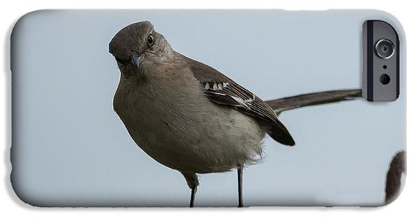 Arkansas iPhone Cases - Northern Mockingbird  iPhone Case by Jan Holden