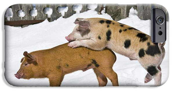 Litter Mates iPhone Cases - Piglets Playing In Snow iPhone Case by Jean-Louis Klein & Marie-Luce Hubert