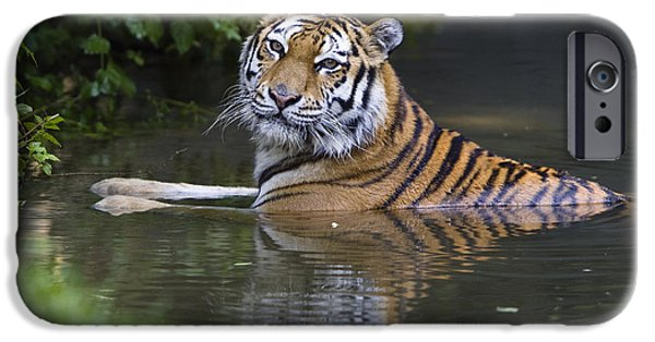Bathing iPhone Cases - Siberian Tiger Panthera Tigris Altaica iPhone Case by Konrad Wothe