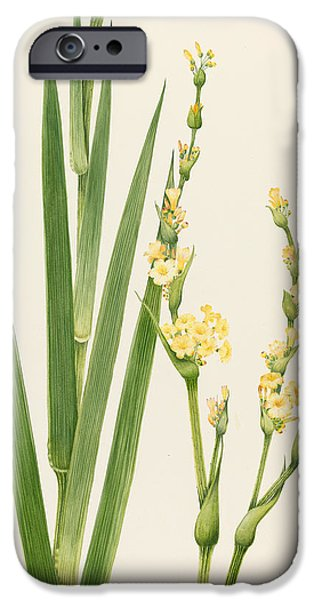 Flora Drawings iPhone Cases - Sisyrinchium iPhone Case by Sally Crosthwaite