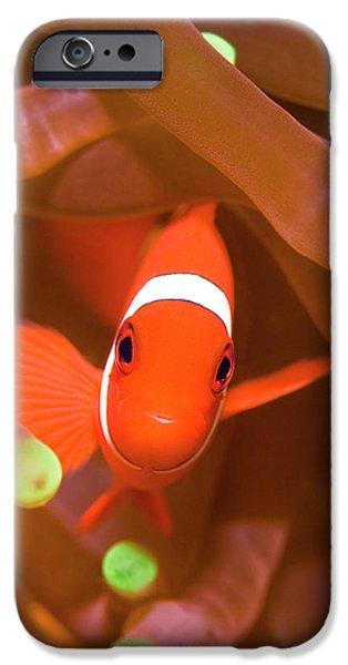 Tropical fish Clownfish iPhone Case by MotHaiBaPhoto Prints