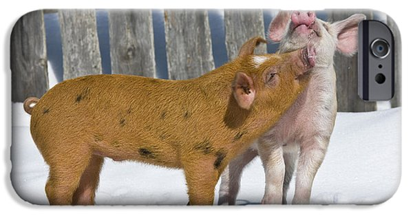 Litter Mates iPhone Cases - Two Piglets Playing iPhone Case by Jean-Louis Klein & Marie-Luce Hubert