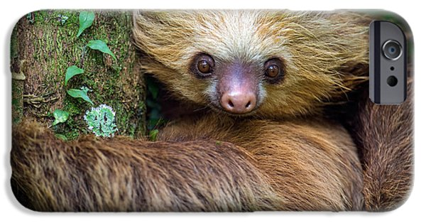 Sloth iPhone Cases - Two-toed Sloth Choloepus Didactylus iPhone Case by Panoramic Images