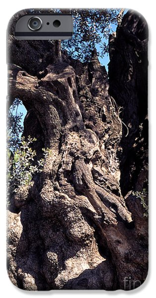 2000 year old Olive Tree iPhone Case by Thomas R Fletcher