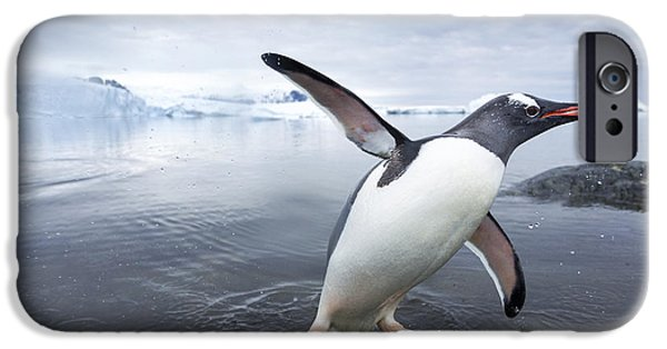 World No. 1 iPhone Cases - Antarctica, Cuverville Island, Gentoo iPhone Case by Paul Souders