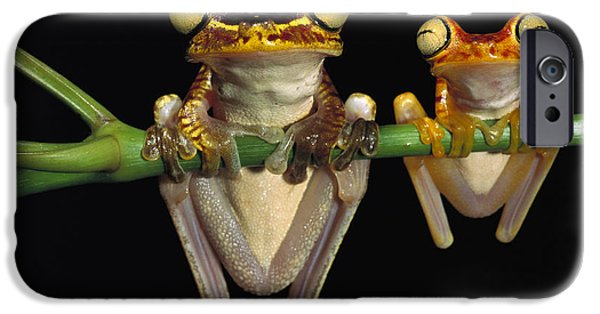Amphibians Photographs iPhone Cases - Chachi Tree Frog Hyla Picturata Pair iPhone Case by Pete Oxford