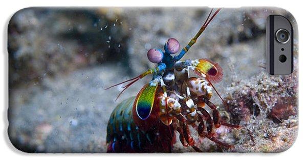 Invertebrates iPhone Cases - Close-up View Of A Mantis Shrimp, Papua iPhone Case by Steve Jones
