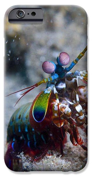 Close-up View Of A Mantis Shrimp, Papua iPhone Case by Steve Jones