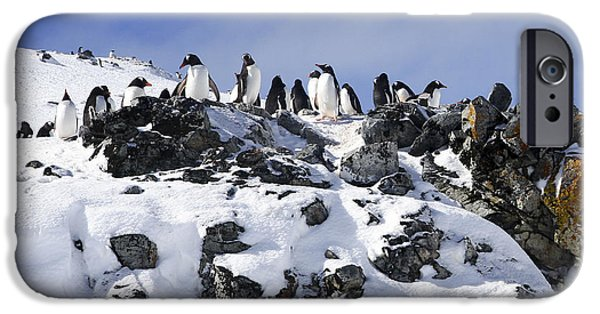 Lilachw iPhone Cases - Gentoo penguins Pygoscelis papua iPhone Case by Lilach Weiss