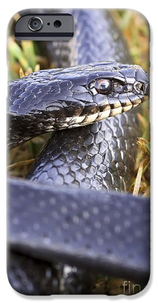 Serpent iPhone Cases - Large Whipsnake Coluber Jugularis iPhone Case by PhotoStock-Israel