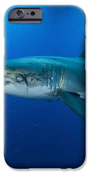 Male Great White Shark, Guadalupe iPhone Case by Todd Winner