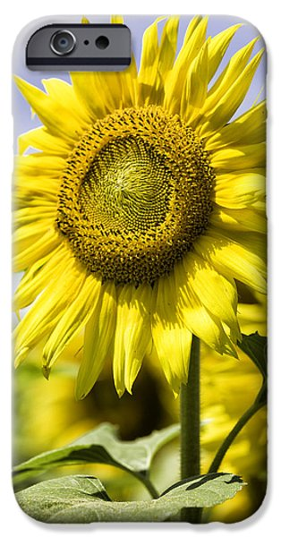 Griswold Ct iPhone Cases - Sunflower iPhone Case by Fran Gallogly