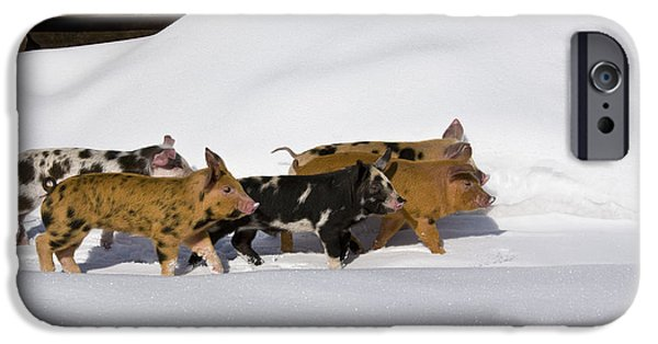 Litter Mates iPhone Cases - Piglets In The Snow iPhone Case by Jean-Louis Klein & Marie-Luce Hubert