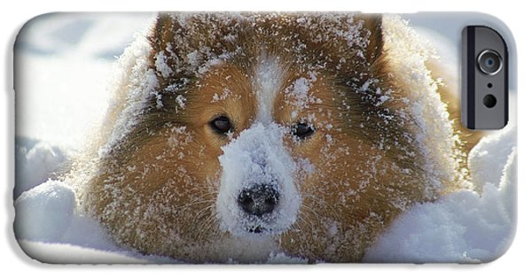 Snow iPhone Cases - Shetland sheepdog iPhone Case by Allan Wallberg