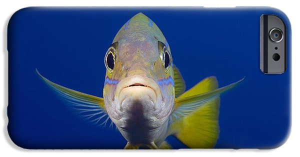 Lips iPhone Cases - Bluestripe Snapper iPhone Case by Dave Fleetham - Printscapes