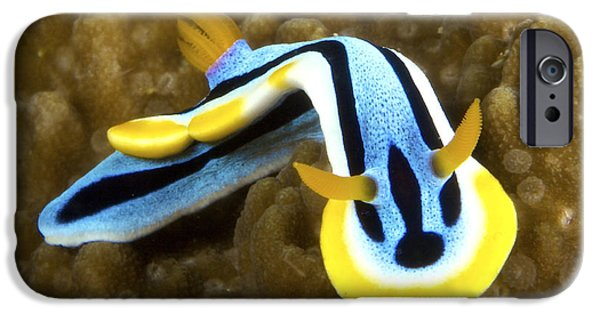 Undersea Photography iPhone Cases - Nudibranch Feeding On Algae, Papua New iPhone Case by Terry Moore