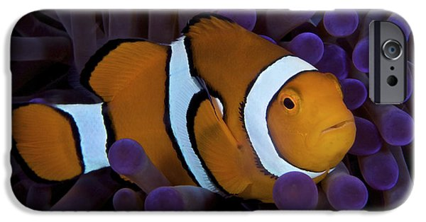 Undersea Photography iPhone Cases - False Ocellaris Clownfish In Its Host iPhone Case by Terry Moore
