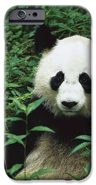 Giant Panda Ailuropoda Melanoleuca iPhone Case by Cyril Ruoso