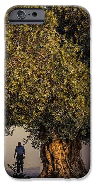 Jordan iPhone Cases - 700 Year Old Olive Tree iPhone Case by Joshua Van Lare