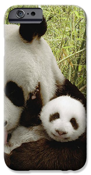 Giant Panda Ailuropoda Melanoleuca iPhone Case by Katherine Feng
