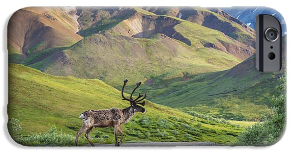 Interior Scene iPhone Cases - A Bull Caribou Crosses The Park Road iPhone Case by Michael Jones