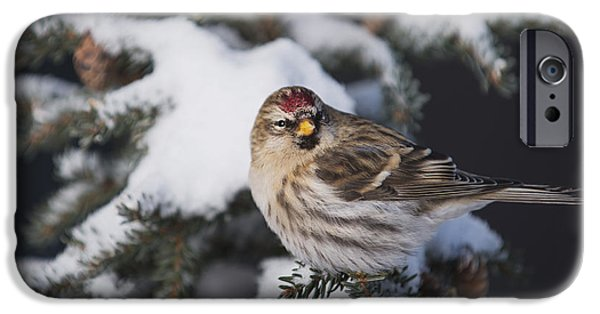 Snowy Day iPhone Cases - A Female Common Redpoll  Carduelis iPhone Case by Greg Martin