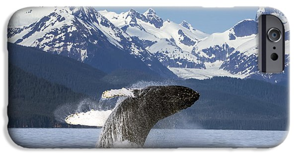 World No. 1 iPhone Cases - A Humpback Whale Leaps  Breaches iPhone Case by John Hyde